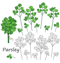 Parsley vector