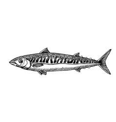 Atlantic mackerel commercial fish seafood vector