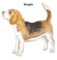 Colored decorative standing portrait of beagle vector