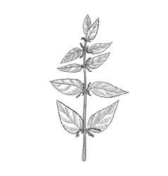 Drawing nettle vector
