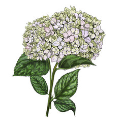 hand drawn bouquet of phlox flowers isolated vector image vector image