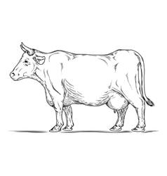 Retro of a cow vector