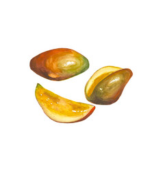 watercolor mango fruit isolated on white vector image vector image