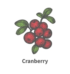 Hand-drawn bunch ripe red cranberry vector