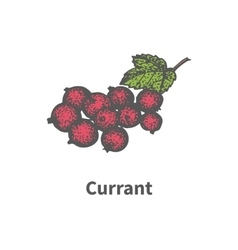 Drawing hand-drawn bunch ripe red currant vector