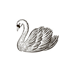 Swans sketch hand drawn vector