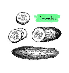 ink sketch of cucumber vector image