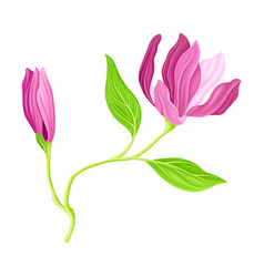 Purple flowering magnolia bud with showy petals on vector
