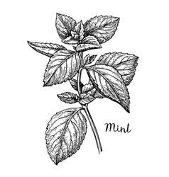Ink sketch of mint vector