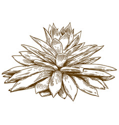engraving drawing of echeveria vector image vector image