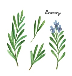 Watercolor branches and leaves rosemary vector