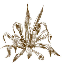 engraving of agave vector image vector image