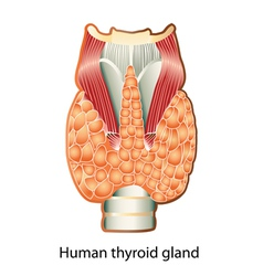 Human thyroid gland vector image vector image
