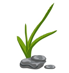 Aloe leaves and zen stones Isolate on white vector image