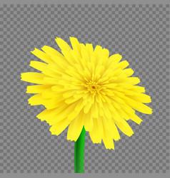 dandelion isolated vector image vector image