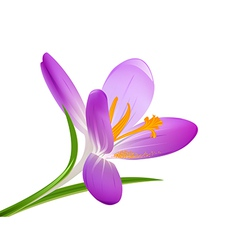Blooming crocus on a white background vector