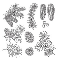 hand drawn pine fir cones brancheswinter vector image