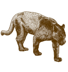 engraving of black panther vector image