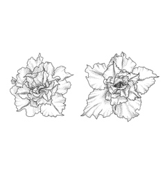 Hand drawn adenium flowers vector image