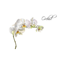 Orchid realistic vector