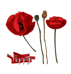 red poppy flowers and seed heads isolated on vector image