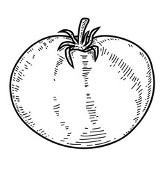 tomato in engraving style design element for logo vector image