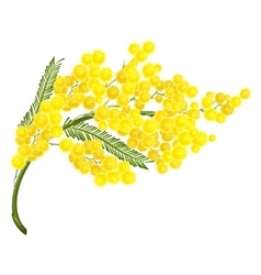 Yellow mimosa flower Mimosa flower symbol of vector image