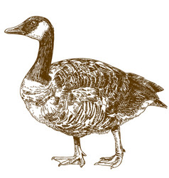 engraving drawing of canada goose vector image vector image