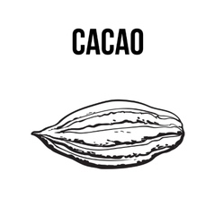 Hand drawn ripe cacao fruit isolated vector