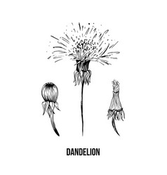 dandelion in blossom black ink sketch vector image