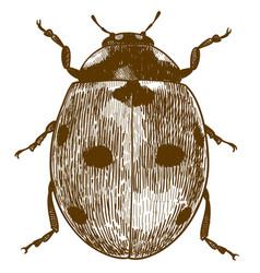 Engraving of ladybug or ladybird vector