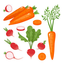 bright of carrot radish vector image