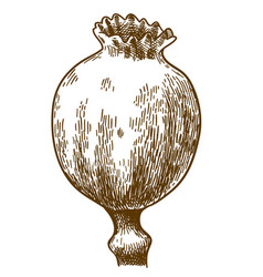 engraving of poppy pod vector image