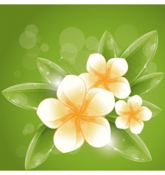 white frangipani flowers vector image vector image