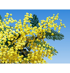 mimosa flower vector image