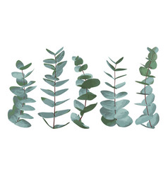 Eucalyptus gunnii silver dollar greenery gum vector