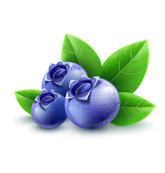 Wild blueberry berries vector