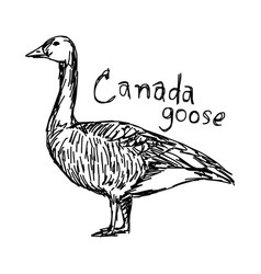 Canada goose - sketch hand drawn vector