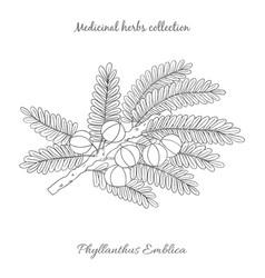 Emblika plant -01 vector