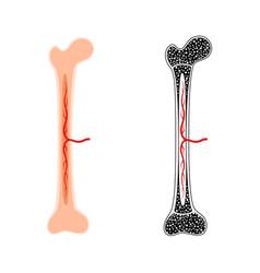 Human bone anatomy vector