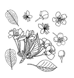 apple blossom leaves flowers buds liner vector image vector image