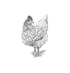 cock sketch hand drawn vector image