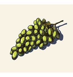Grapes sketch vector
