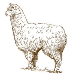 engraving drawing of fluffy llama vector image vector image