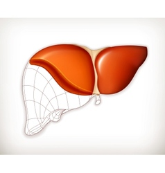 Liver structure vector image vector image