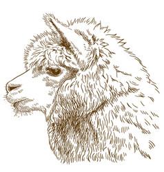 engraving drawing of fluffy llama head vector image vector image