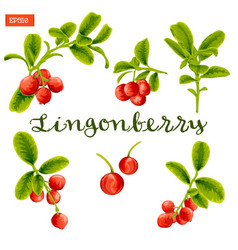 set of leaves and berries of lingonberry plant vector image