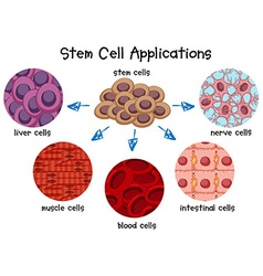 Diagram of different stem cells vector image vector image