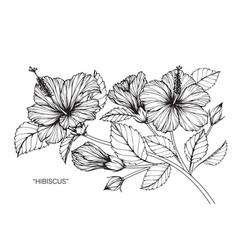 Hibiscus flower drawing vector