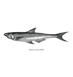 Anchovy hand drawing vintage engraving vector